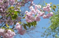 Wibrujący różowy Sakura obrazy royalty free