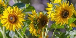 Wibrujący słoneczniki kwitnie w świetle słonecznym zdjęcia royalty free