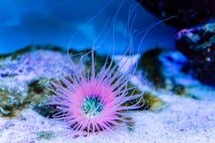 Wibrujący tubka anemon na piaska dnie fotografia stock