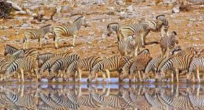 Wibrujący waterhole pełno zebr pić Obraz Royalty Free