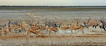 Wibrujący waterhole z Gemsbok antylopą i Oryx Obrazy Royalty Free