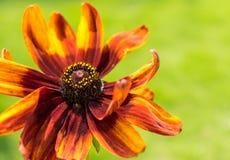 Wibrujący Z Podbitym Okiem Susan kwiat chwytający w makro- zdjęcie royalty free
