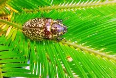 Wibrujący zbliżenie widok wielka gruba chrząszcz pluskwa na zielonym drzewku palmowym opuszcza w lecie zdjęcia royalty free