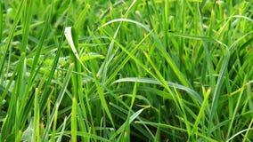 Wibrujący zielonej trawy zakończenie zbiory