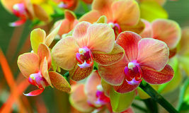 Wibrujące orchidee Zdjęcia Royalty Free