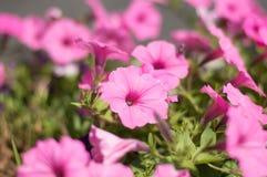 Wibrujący menchia kwiat fotografia stock