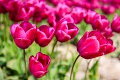 Wibrujący pola kolorowi tulipany dywanowi skagit dale tulipanu festiwalu Zdjęcia Royalty Free