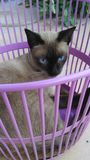 Wichienmaad  breed Siamese cat in pink basket Stock Image