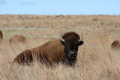 Wichita Mountains Bison Stock Image