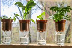 Wick watering. Plants in pots on glasses stand on a shelf on a window. royalty free stock image