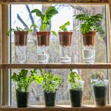 Wick watering. Plants in pots on glasses stand on a shelf on a window. royalty free stock images