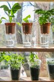 Wick watering. Plants in pots on glasses stand on a shelf on a window. royalty free stock photo