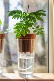 Wick watering. Plants in pots on glasses stand on a shelf on a window. stock image