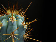 Wicked Cactus Spines. Close-up of wicked spines of azureocereus hertlingianus cactus plant Royalty Free Stock Photos