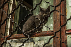 Wicked cat. He feels the impunity through решедку, I him will not get and he teases me Royalty Free Stock Image