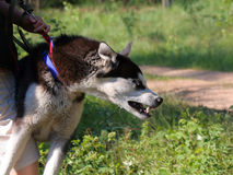 Wicked dog. Angry Husky tries to attack somebody. The dog is kept by its owner Royalty Free Stock Image
