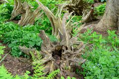 Wicked looking stump on a trail royalty free stock images