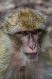 Wicked Monkey  Royalty Free Stock Photography