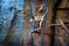 Wicked monkey portrait Royalty Free Stock Image