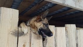 Wicked shepherd barks from behind a fence stock video