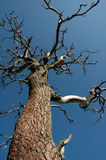 Wicked Tree. Looking up at a twisted dead tree Royalty Free Stock Photography