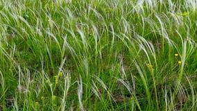 Wickeln Sie bewegliches frisches grünes Gras auf einem Feld stock footage