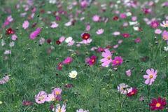 Wickeln Sie den Schlag durch ein Feld des rosafarbenen Kosmos lizenzfreie stockfotos