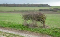 Wickeln Sie geblasenen kleinen Baum auf den Südabstiegen, Sussex Lizenzfreies Stockfoto