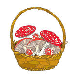 Wicker basket with Amanita or Fly agaric mushroom isolated on white. Outline poisonous red-cup mushroom in line art. Royalty Free Stock Photos