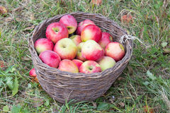 Wicker basket of apples Royalty Free Stock Photos