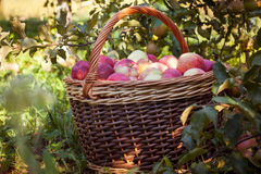Wicker basket with apples near the tree Stock Image