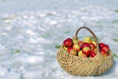Wicker Basket of Apples. A wicker basket of apples in snow, late fall concept Stock Images
