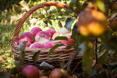 Wicker basket with apples under the tree Royalty Free Stock Photo