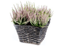 Wicker basket with bunch of heather flowers. Shot on white background Stock Image