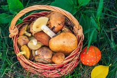 Wicker basket with edible mushrooms and toxic and dangerous aman. Wicker basket with edible mushrooms and toxic and dangerous to human health amanita on grass Stock Image