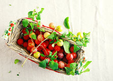 Wicker basket filled with fresh cherries Royalty Free Stock Photos