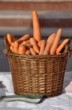 Wicker basket filled with fresh large carrots.  stock images