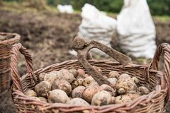 The wicker basket is filled with freshly dug potatoes, close up. On basket there is hoe - hand tools for potato digging royalty free stock photo