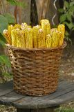 A wicker basket filled with golden corn harvested placed on a round wooden bench. royalty free stock photo