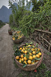 Wicker basket filled harvest oranges, Guangxi Province, southwes Royalty Free Stock Photography