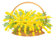 Wicker basket with flowers mimosa Stock Images