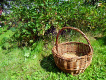 Wicker basket with fresh berries white currants Stock Photos