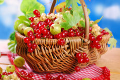 Wicker basket with fresh red currant Royalty Free Stock Images
