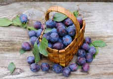 Wicker basket of freshly picked plums Stock Photos