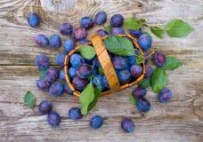 Wicker basket of freshly picked plums Stock Image