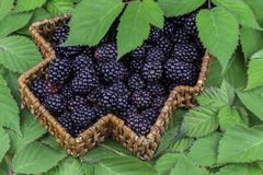 Wicker basket full of blackberries Royalty Free Stock Image