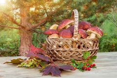 Wicker basket full of Edible forest mushrooms boletus edulis f. pinophilus known as king bolete, penny bun and sep on wooden table stock photos
