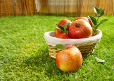 Basket of freshly picked apples Royalty Free Stock Images