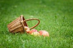 Wicker basket full of gala apples Royalty Free Stock Photo