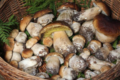 Wicker basket full of mushrooms Royalty Free Stock Photo